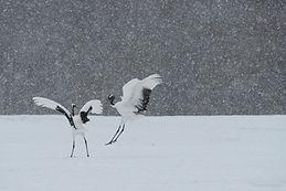 cranedance-winter-hokkaido-daisukekondo-