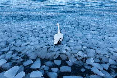 Whooper swan at Lake Kussharo, Hokkaido