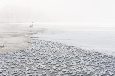 Whooper swan at lake Kussharo