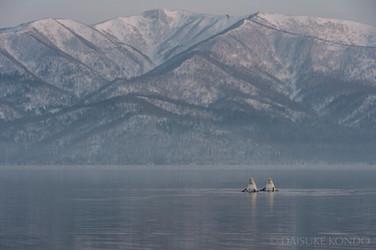 Whooper swans at Lake Kussharo, Hokkaido