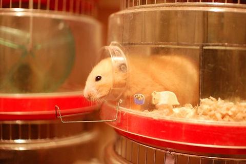Hamster BC.jpg