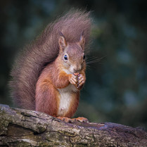 'Nutkins' by Terry Hanna - Commended