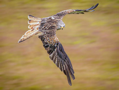 2019RFNHM_PRINT_008 - Red Kite Staredown by Terry Hanna.  Highly Commended