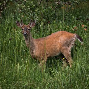 Sitka Black Tailed Deer