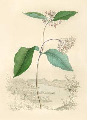 Whitefield - Early Aesclepias.jpg