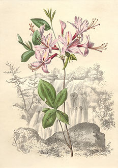 Whitefield - Wild Honeysuckle.jpg