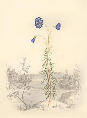 Whitefield - Azure Star Flower.jpg