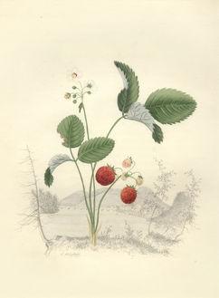 Whitefield - Wild Strawberry 1845.jpg