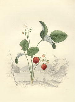 Whitefield - Wild Strawberry 1845.jpg