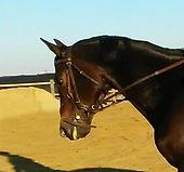 selle français SBS zangersheide chevaux à vendre cso stage pensions boxe carrière concours manège obstacle dressage élevage chevaux cheval compétition virginie kasak pierre milon steven le vot charente maritime 17 royan