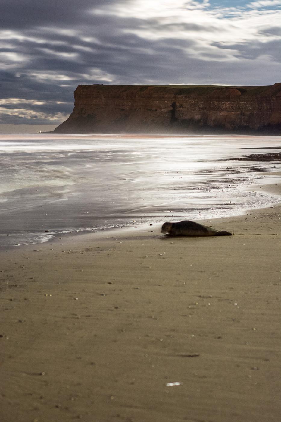 UK wildlife photography Saltburn seal