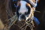 Temakveld om polyneuropati (silosyke) hos hest