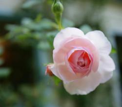 pink rose (Large)