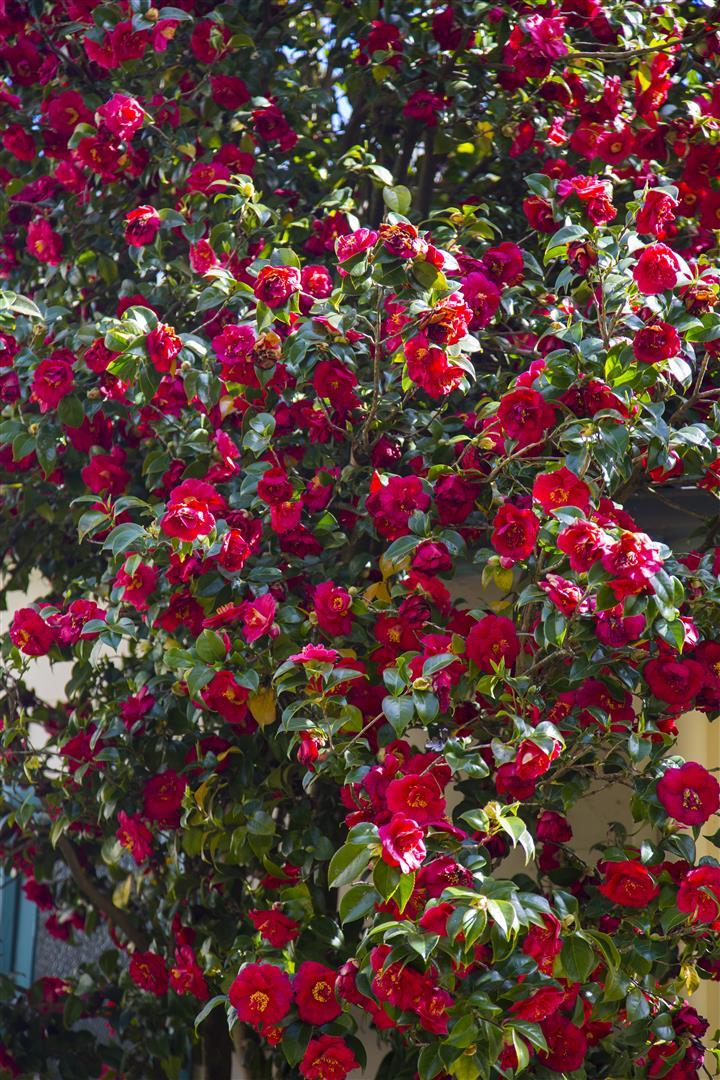 Camellia (Large)