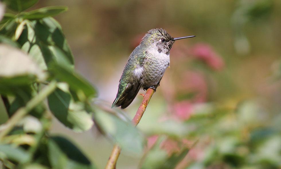 Humming Bird Macro