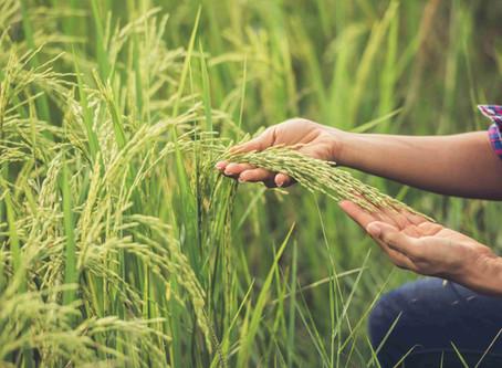 Rice From Vietnam   Vietnam Rice Price