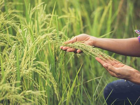 Rice From Vietnam | Vietnam Rice Price