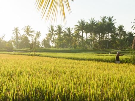 Jasmine Rice Manufacturers from Vietnam | Jasmine Rice Supplier