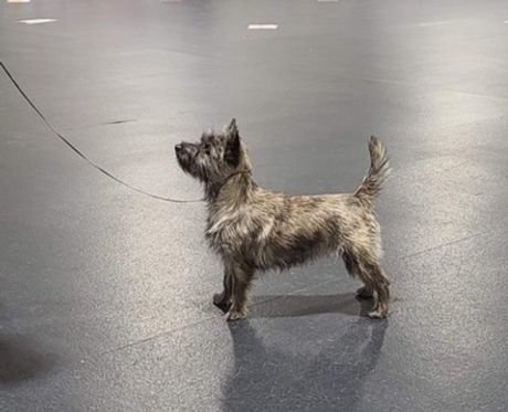 silver cairn terrier