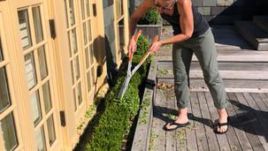 Terrace Boxwood Pruning