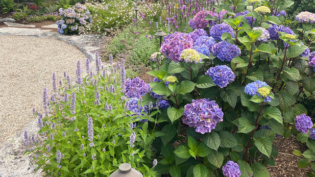 Hydrangeas and Hyssops