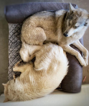 The wolfies taking an afternoon nap