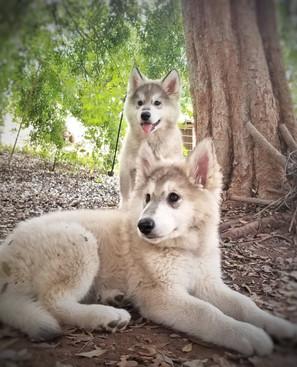Wolf puppies!