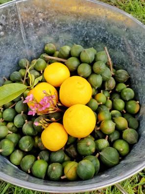 Macadamia nut harvest