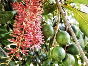Mac nuts in bloom