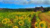 Sunflower-Field-4.jpg