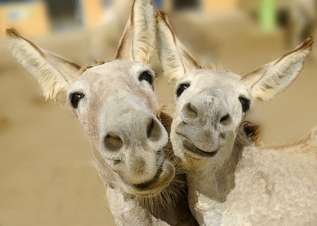 Two cream colored donkeys pose with happ