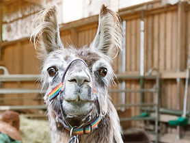 Funny Lama Portrait close up.jpg