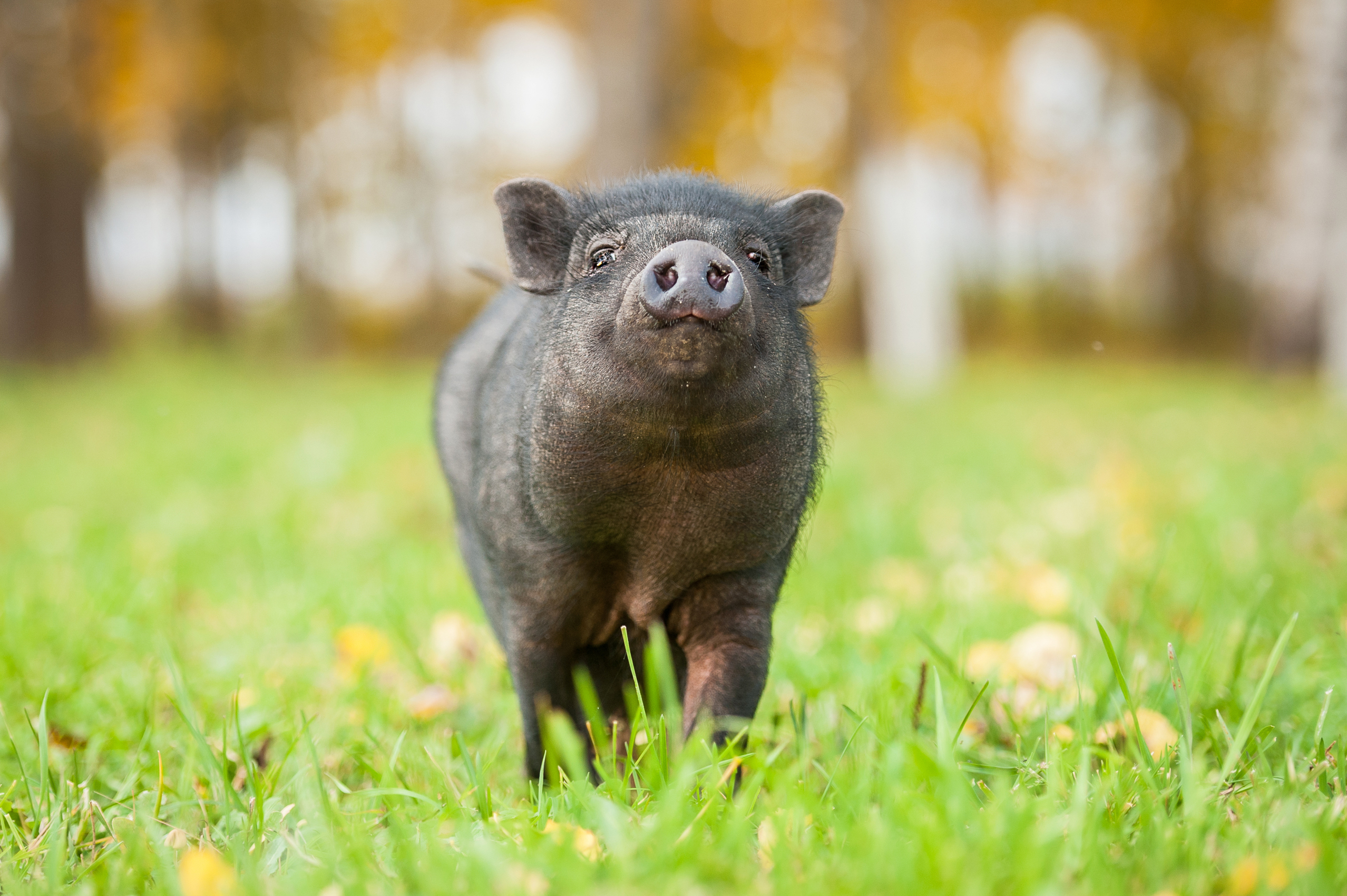 Funny mini piggy walking on the grass