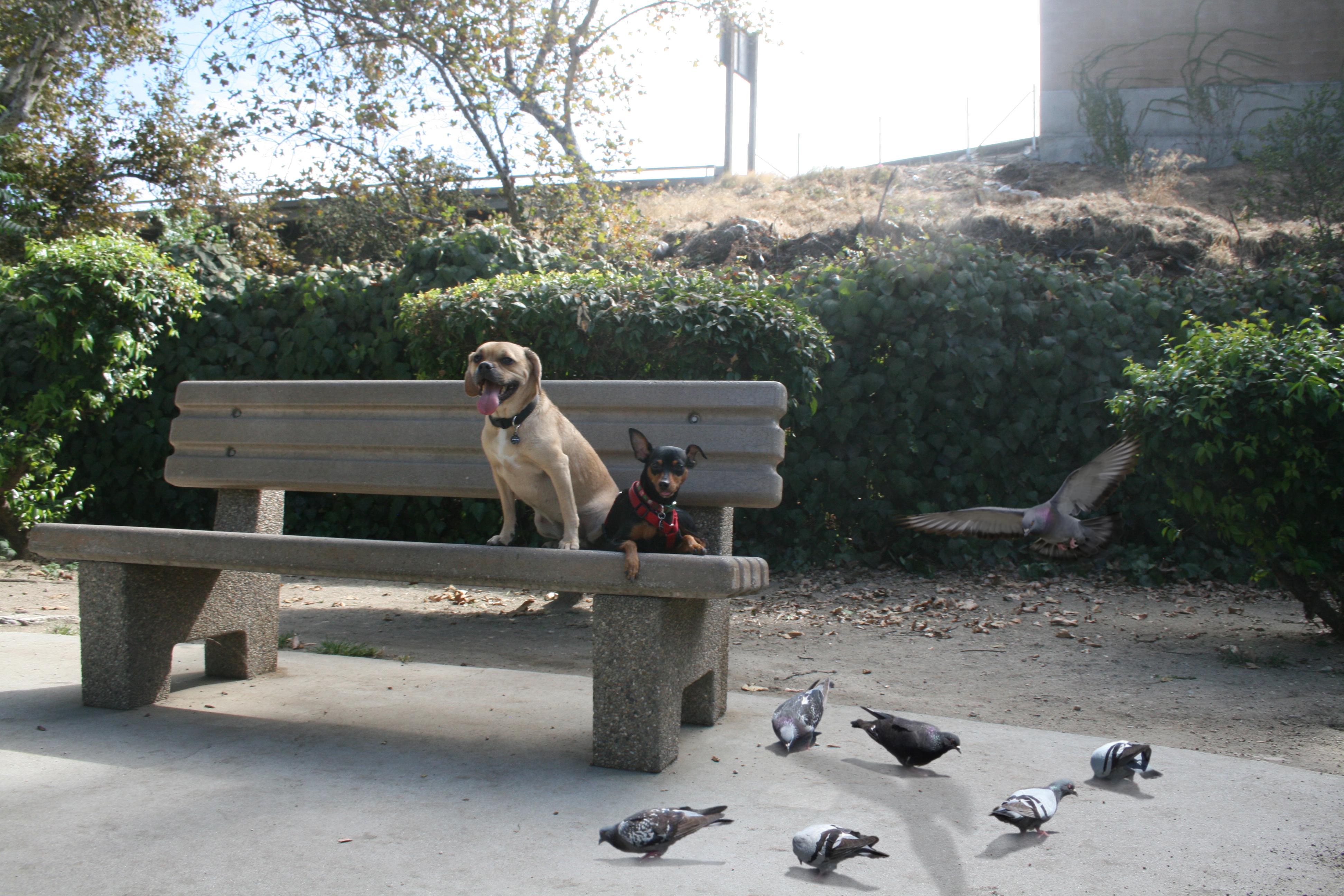 Pugzy_Ruby pigeons