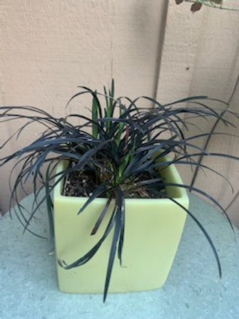 Black Mondo Grass in resin pot approx 5 x 5 inches