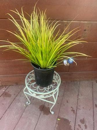 Acorus gramineus 'Ogon'. Part sun grass with yellow leaf variegation - 1 gallon