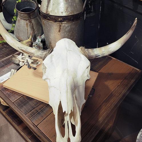 Bull Head Skull