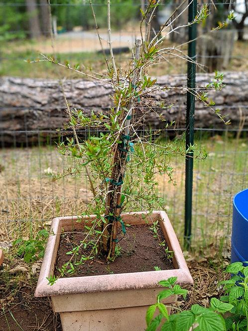 15 Gallon Pomegranate Tree - Approx 5'!