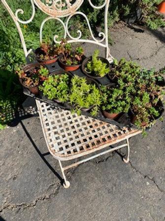 3 inch pot assorted succulents