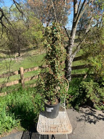 Staked Ivy approx 3 ft tall