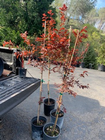 Prunus 'Krauter Vesuvius' Purple Leaf Plum - 5 gallon