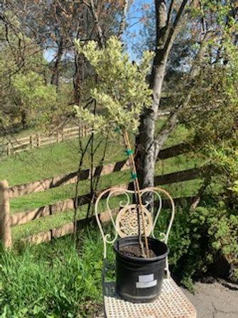 Euonymus 'Moness' topiary tree - 3 gallon