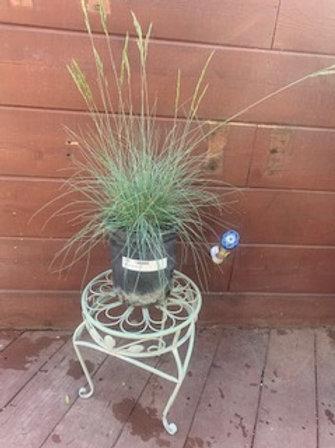 Festuca ovina 'Glauca'.  Blue Fescue.  Full sun grass. 1 gallon
