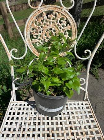 Campanula kemulariae. Purple spring flowers - 1 gallon