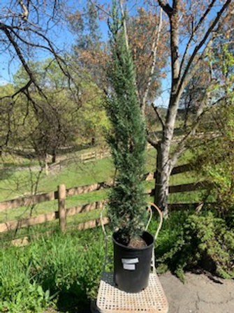 Italian Cypress approx 4 ft tall