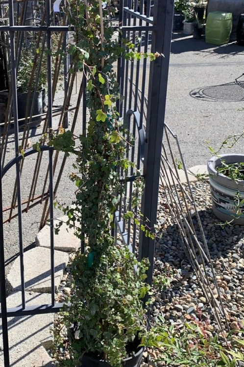 Staked Ivy (several varieties)