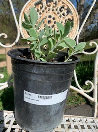 Sedum spectibile 1 gallon