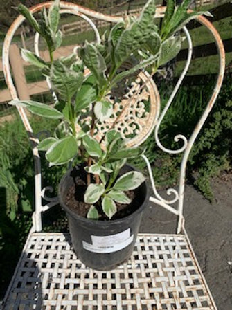 Hydrangea mariesii variegata - Lace so flowers - 1 gallon