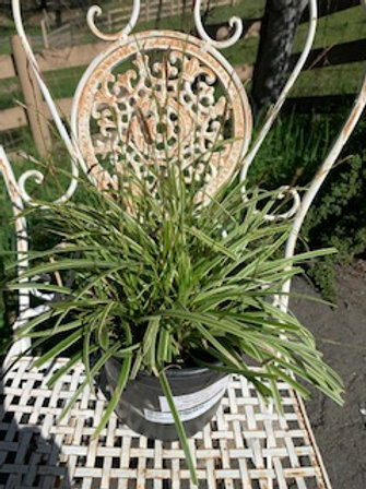 Carex 'Silver Sceptre' - 1 gallon