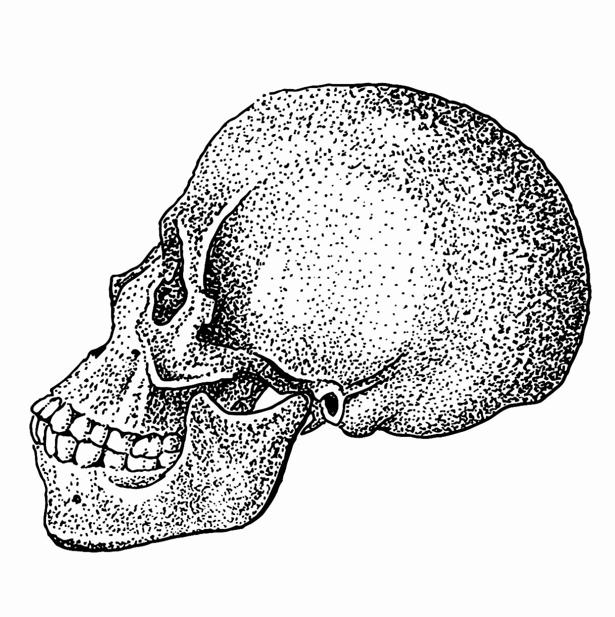 Skull - Profile